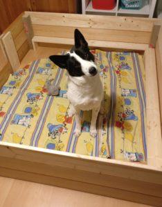 Luca, Canaan Dog